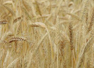 Mąka żytnia a gluten