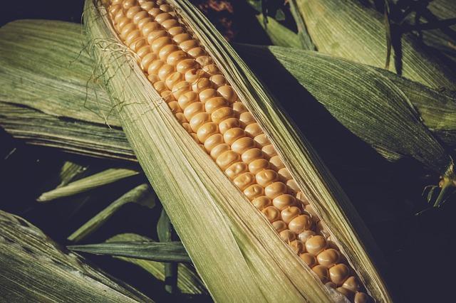 Kukurydza a gluten
